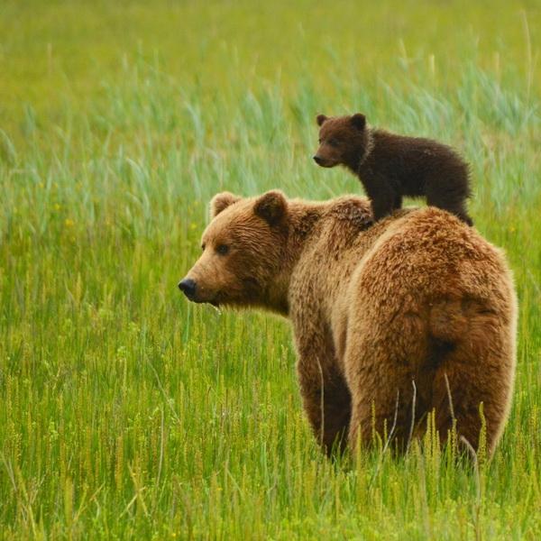 медведи мама и детеныш